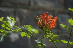 Fiore profumato rosso contro fondo scuro fotografia stock