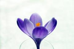 Fiore puro del croco Fotografia Stock Libera da Diritti