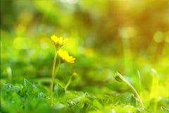 Fiore rampicante di wedelia nello stile d'annata Fotografia Stock Libera da Diritti