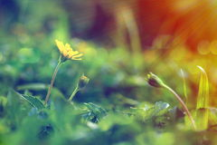 Fiore rampicante di wedelia nello stile d'annata Fotografia Stock