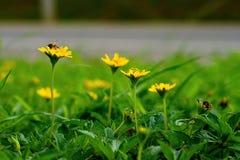 Fiore rampicante giallo di wedelia Immagine Stock