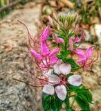 Fiore raro Immagine Stock Libera da Diritti