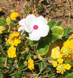 Fiore raro bianco Fotografia Stock