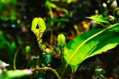 Fiore raro - bulbosa di Ceropegia con il germoglio, Satara, maharashtra, India immagini stock libere da diritti