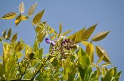 Fiore recente di glicine della foglia Fotografia Stock
