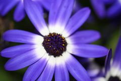 Fiore regale con i pestils piacevoli fotografia stock libera da diritti