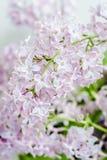 Fiore romanzesco di bellezza della molla lilla Fotografia Stock