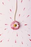 Fiore rombante della margherita Fotografia Stock