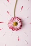 Fiore rombante della margherita Fotografie Stock