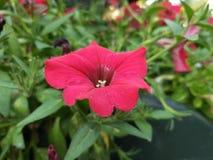 Fiore - rosa - ??????- ??????? immagini stock libere da diritti