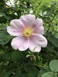Fiore rosa immagine stock