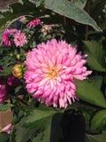 Fiore rosa Immagine Stock Libera da Diritti