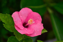Fiore rosa Fotografia Stock Libera da Diritti