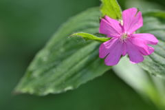 Fiore rosa Fotografie Stock