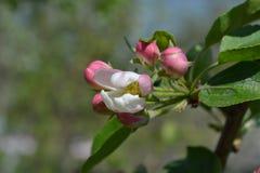 Fiore rosa Immagini Stock