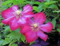 Fiore rosa al giardino di Mirabel Fotografie Stock