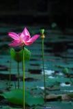 Fiore rosa alto del giglio con le foglie aperte in stagno Immagine Stock Libera da Diritti