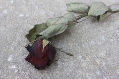 Fiore rosa appassito Fotografia Stock Libera da Diritti