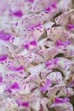 fiore rosa bianco dell'orchidea Immagine Stock Libera da Diritti
