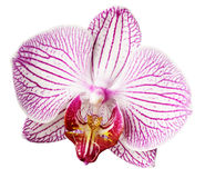 Fiore rosa-bianco-giallo dell'orchidea Isolato su fondo bianco con il percorso di ritaglio closeup Grande fiore striato eterogene fotografia stock libera da diritti