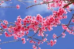 Fiore rosa in Chiang Mai Immagine Stock Libera da Diritti