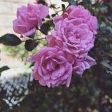 Fiore rosa-chiaro Fotografia Stock Libera da Diritti