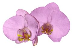 Fiore rosa-chiaro dell'orchidea isolato su fondo bianco con il percorso di ritaglio closeup Fiore rosa di phalaenopsis con Li gia Fotografia Stock Libera da Diritti