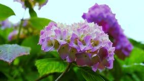 Fiore rosa-chiaro dell'ortensia Il video di moto intorno al fiore vi dà l'opportunità di vedere il fiore da tutti i lati archivi video