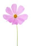 Fiore rosa-chiaro dell'universo isolato su fondo bianco Ambiti di provenienza dell'universo del giardino per la stazione termale Immagini Stock