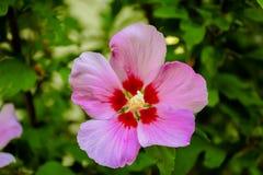 Fiore rosa con Bokeh Fotografia Stock