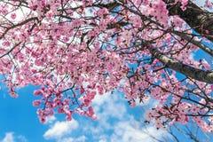 Fiore rosa con cielo blu nel Giappone Immagini Stock Libere da Diritti