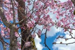 Fiore rosa con cielo blu nel Giappone Fotografie Stock Libere da Diritti