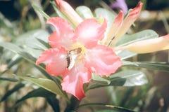 Fiore rosa con effetto d'annata del filtro dalla farfalla Immagine Stock