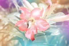 Fiore rosa con effetto pastello del filtro dalla farfalla Fotografia Stock Libera da Diritti
