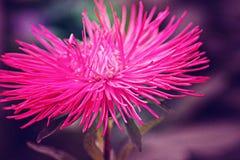 Fiore rosa con i petali lunghi e taglienti Immagine Stock