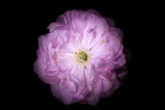 Fiore rosa con i petali rotondi come la petunia isolata su fondo nero Immagini Stock Libere da Diritti