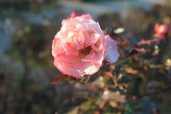 Fiore rosa con i pistilli fotografia stock