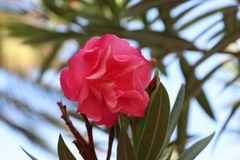 Fiore rosa con il fondo vago della foglia fotografia stock libera da diritti