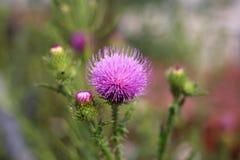 Fiore rosa con il primo piano delle spine immagini stock