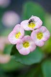 Fiore rosa con l'insetto Fotografia Stock Libera da Diritti