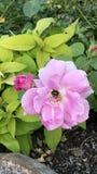 Fiore rosa con l'insetto Immagini Stock