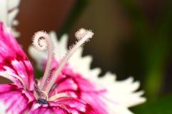 Fiore rosa con le antere ricce immagine stock libera da diritti