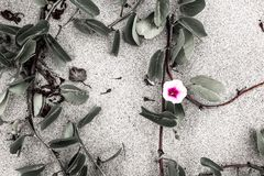 Fiore rosa con le foglie sulla sabbia Fotografia Stock Libera da Diritti