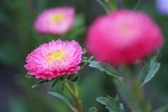 Fiore rosa con un centro giallo Immagine Stock