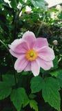 Fiore rosa con un fondo verde della foglia fotografie stock libere da diritti