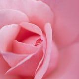 Fiore rosa confuso Fotografia Stock Libera da Diritti