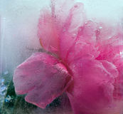 Fiore rosa congelato della peonia Fotografie Stock Libere da Diritti