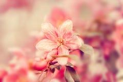 Fiore rosa dei fiori sull'albero Bello fondo pastello floreale della natura immagine stock libera da diritti
