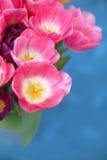 Fiore rosa dei tulipani su fondo blu una cartolina d'auguri Fotografie Stock