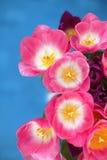 Fiore rosa dei tulipani su fondo blu una cartolina d'auguri Immagine Stock